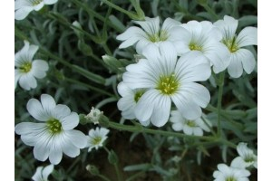 CERASTIUM TOMENTOSUM SEEDS - SNOW IN SUMMER SEEDS - WHITE FLOWERS - 250 SEEDS