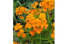 CHEIRANTHUS ALLIONII ORANGE SEEDS - SIBERIAN WALLFLOWER PERENNIAL SEEDS - 100 SEEDS