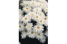 CHRYSANTHEMUM CRAZY DAISY SEEDS (WHITE) PERENNIAL SEEDS - 50 SEEDS