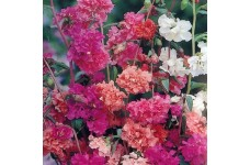 CLARKIA ELEGANS DOUBLE MIX - 1000 SEEDS