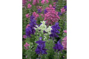 CLARY CROWN BOUQUET MIXED SEEDS - CLARY SAGE - SALVIA HORMINUM - 100 SEEDS