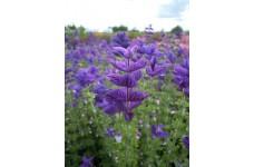 CLARY OXFORD BLUE SEEDS - BLUE CLARY SAGE - SALVIA VIRIDIS - 100 SEEDS