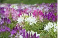 CLEOME HASSLERIANA SPIDER PLANT SEEDS - SPIDER FLOWER - 100 SEEDS