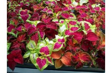 COLEUS RAINBOW MIX SEEDS - MIXED COLOUR COLEUS - 50 SEEDS