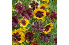 COREOPSIS HYBRIDA INCREDIABLE DWARF MIX SEEDS - TICKSEED - 50 SEEDS