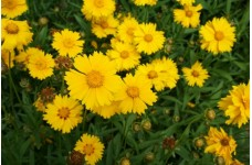 COREOPSIS LANCEOLATA SEEDS - MAYFIELD GIANTS YELLOW / ORANGE PERENNIAL SEEDS - 50 SEEDS