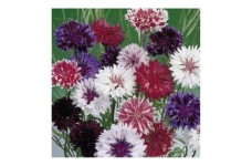 CENTAUREA CYANUS FROSTY MIX SEEDS - CORNFLOWER - 100 SEEDS