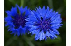 CENTAUREA CYANUS BLUE BALL - BLUE CORNFLOWER SEEDS - 100 SEEDS