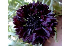 CENTAUREA CYANUS BLACK BALL SEEDS - DARK RED CORNFLOWER - 100 SEEDS