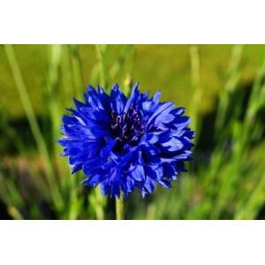 CENTAUREA CYANUS BLUE BOY - BLUE CORNFLOWER SEEDS - 100 SEEDS