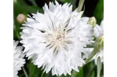 CENTAUREA CYANUS WHITE SEEDS - WHITE CORNFLOWER - 100 SEEDS