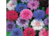 CENTAUREA CYANUS POLKA DOT MIX CORNFLOWER SEEDS - 100 SEEDS