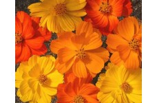 COSMOS BIPINNATUS BRIGHT LIGHTS MIX SEEDS - RED, ORANGE & YELLOW FLOWERS - 50 SEEDS