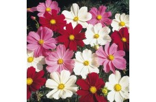 COSMOS BIPINNATUS DWARF MIX SEEDS - WHITE, PURPLE, PINK & CRIMSON FLOWERS - 50 SEEDS