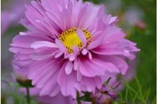 COSMOS BIPINNATUS FIZZY PINK SEEDS - PRETTY PINK FLOWERS - 50 SEEDS