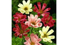 COSMOS BIPINNATUS SEASHELLS MIX SEEDS - WHITE, ROSE PINK FLOWERS - 50 SEEDS