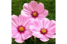 COSMOS BIPINNATUS SENSATION GLORIA SEEDS - ROSE PINK FLOWERS - 50 SEEDS