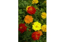 COSMOS CARPET FORMULA MIX SEEDS - YELLOW, ORANGE & RED FLOWERS - 50 SEEDS