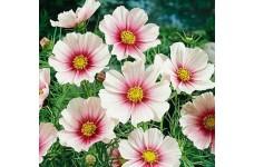 COSMOS BIPINNATUS DAYDREAM SEEDS - WHITE FLOWERS WITH PINK INTERIOR - 50 SEEDS