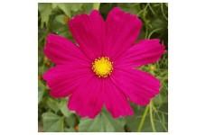 COSMOS BIPINNATUS DAZZLER SEEDS - VIBRANT DARK PINK FLOWERS - 50 SEEDS
