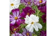 COSMOS FIZZY MIXED SEEDS - PURPLE WHITE LILAC FLOWERS - 50 SEEDS