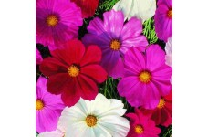COSMOS BIPINNATUS SENSATION MIX SEEDS - MIXED COLOUR SEEDS - 50 SEEDS