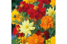 COSMOS SULPHUREUS BRIGHTNESS MIX SEEDS - MIXED COLOUR FLOWERS - 50 SEEDS