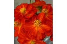 COSMOS SULPHUREUS REDCREST SEEDS - ORANGE RED FLOWERS - 50 SEEDS