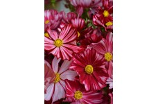 COSMOS VELOUETTE SEEDS - DEEP RED FLOWERS WITH WHITE STRIPES - 50 SEEDS