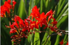 CROCOSMIA MONTBRETIA RED LUCIFER SEEDS - 50 SEEDS