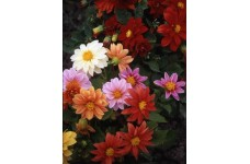 DAHLIA VARIABILIS EARLY BIRD MIX - 50 SEEDS