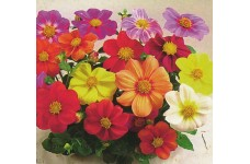 DAHLIA COLTNESS HYBRID MIX SEEDS - MIXED COLOUR FLOWERS - 50 SEEDS