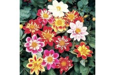 DAHLIA VARIABILIS DWARF DANDY MIX SEEDS - MIXED COLOUR FLOWERS - 50 SEEDS