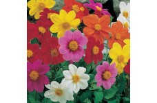 DAHLIA VARIABILIS DWARF MIGNON MIX SEEDS - MIXED COLOUR FLOWERS - 50 SEEDS