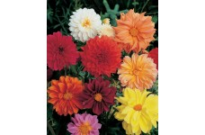 DAHLIA FIGARO MIX SEEDS - MIXED COLOUR DOUBLE FLOWERS - 50 SEEDS