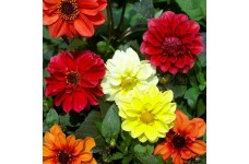 DAHLIA VARIABILIS DWARF RED SKIN MIX SEEDS MIXED COLOUR FLOWERS - 50 SEEDS