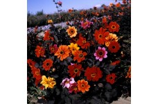 DAHLIA VARIABILIS BISHOPS CHILDREN SEEDS - MIXED COLOURS - 50 SEEDS