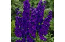 DELPHINIUM PACIFIC GIANT BLACK KNIGHT SEEDS - DARK BLUE FLOWERS WITH DARK BEE - 50 SEEDS