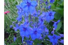 DELPHINIUM GRANDIFLORA BLUE BUTTERFLY SEEDS - VIVID BLUE FLOWERS - 100 SEEDS