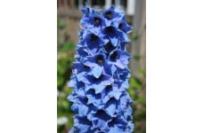 DELPHINIUM BLUE JAY SEEDS - PACIFIC GIANTS - BLUE FLOWERS - 50 SEEDS
