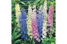 DELPHINIUM CROWN PACIFIC MIX SEEDS - MIXED COLOUR FLOWERS - 50 SEEDS