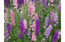 DELPHINIUM LARKSPUR GIANT IMPERIAL MIXED SEEDS - MIXED CLOUR FLOWERS - 100 SEEDS