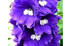 DELPHINIUM KING ARTHUR SEEDS - PURPLE FLOWERS - 50 SEEDS