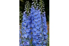 DELPHINIUM SUMMER SKIES SEEDS - PACIFIC GIANTS - PALE BLUE FLOWERS - 50 SEEDS