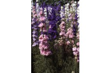 DELPHINIUM LARKSPUR GIANT HYACINTH MIX SEEDS - CONSOLIDA AJACIS - 100 SEEDS