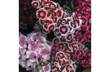 DIANTHUS BARBATUS SEEDS - SWEET WILLIAM AURICULA EYED SEEDS - 250 SEEDS