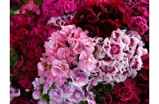 DIANTHUS BARBATUS SEEDS - SWEET WILLIAM DOUBLE MIX SEEDS - 250 SEEDS