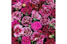 DIANTHUS CHINENSIS INDIAN PINK MIX / CHINA PINK SEEDS - 250 SEEDS