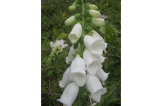 DIGITALIS PURPUREA ALBA WHITE FOXGLOVE SEEDS - 500 SEEDS