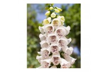 DIGITALIS PURPUREA ELSIE KELSEY FOXGLOVE SEEDS - WHITE & PURPLE - 100 SEEDS